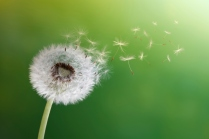 dandelion breath